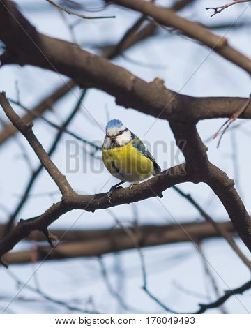 Eurasian blue tit Cyanistes caeruleus sitting in branches closeup portrait selective focus shallow DOF.