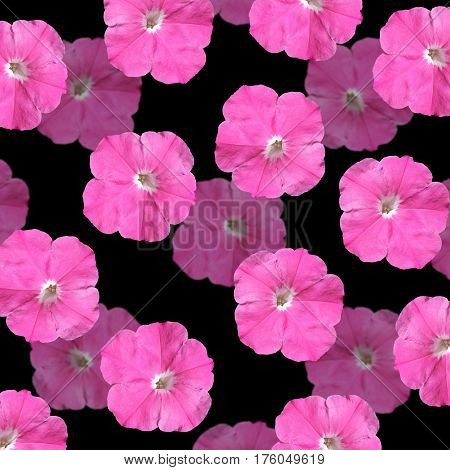 Beautiful floral background with pink petunias. Isolated