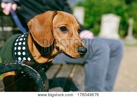 Dachshund puppy in a fleece and harness sitting on a bench in the park with its owner.