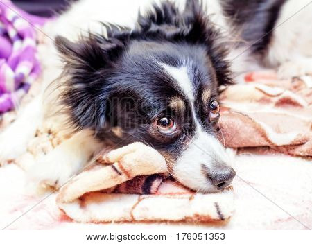 Pretty black and white dog looks faithful eyes at home