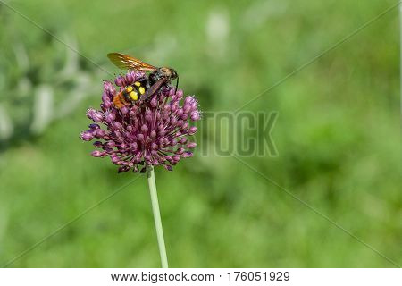 Giant wasp or Scolia sits on flower of thistle