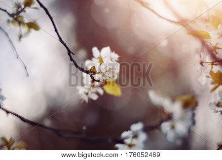 Branches of the blossoming plum tree in the spring.