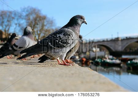 Rock pigeons sitting by the river Thames in Richmond.