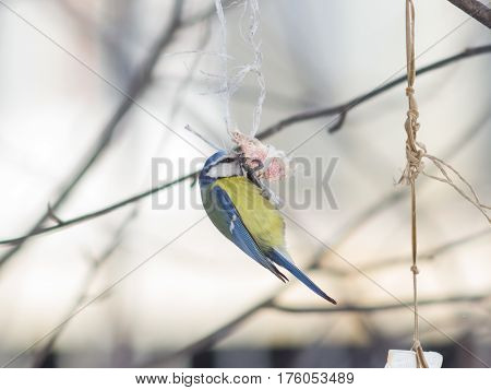 Blue Tit Cyanistes caeruleus on a fat ball in winter close-up portrait selective focus shallow DOF.