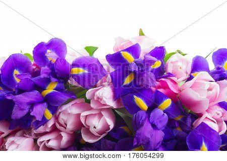 Bunch of blue irises and pik tulips border isolated on white background