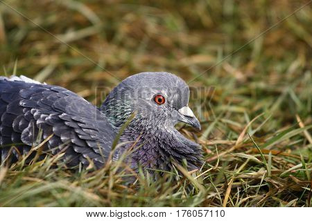 A feral pigeon lying down in grass