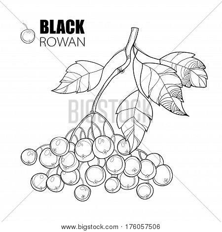 Vector branch with outline Black Chokeberry or Aronia, leaves and berry isolated on white. Illustration with autumn berry. Decor with Chokeberry in contour style for autumn design and coloring book.