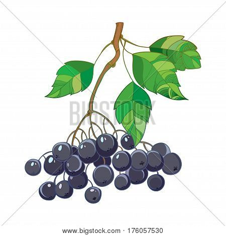 Vector branch with outline Black Chokeberry or Aronia, leaves and berry isolated on white. Illustration with ripe autumn berry. Decor with bunch of Chokeberry in contour style for autumn design.