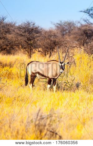 Gemsbok or gemsbuck antelope, Oryx gazelle, standing in the savanna of Kalahari Desert, Namibia, Africa.