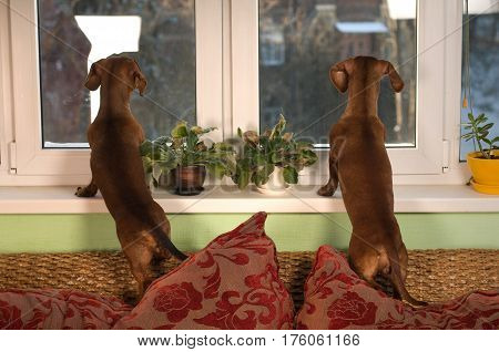 Two friends dachshund dogs portrait looking at window standing on cushion