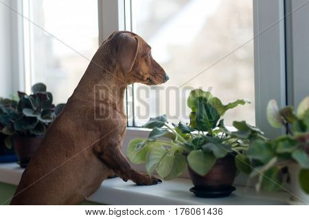 Sad dachshund portrait looking at window standing on sill with pots with violet