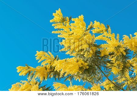 Yellow Mimosa Flower With Leaf On Tree On Blue Sky, Symbol Women Day