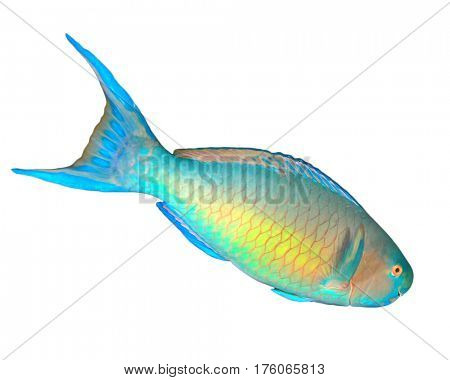 Rusty Parrotfish tropical fish isolated on white background