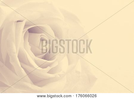 Beautiful toned white rose close up can use as wedding background. Soft focus. In Sepia toned. Retro style