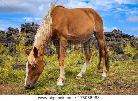 Horse In Easter Island Field
