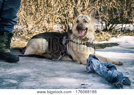 Shepherd Dog  Laying On The Snow And Guarding The Rag During The Dog Training Course In Dog School