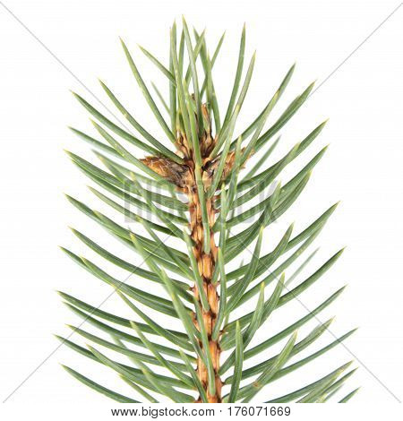 Green fir-needle isolated on white background. Fir branch