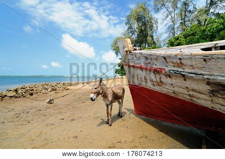 Donkey being used for a transportation of sand on the Lamu archipelago standing on the beach Kenya