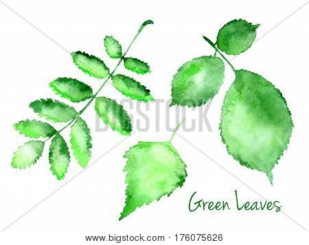 Set of green vector abstract watercolor leaves hazel, birch, rowanberry isolated on white background