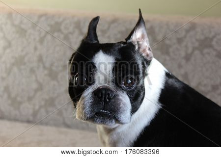 Portrait of black and white dog. Torso of boston terrier dog. Head of dog with kind eyes wide open.