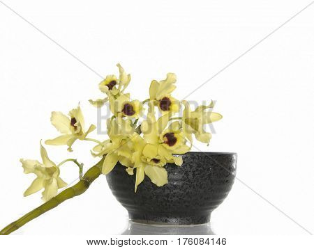 Yellow orchid with bowl on white
