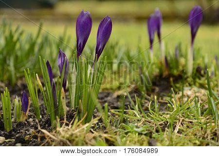Four purple crocus in grass. First spring flowers on garden.