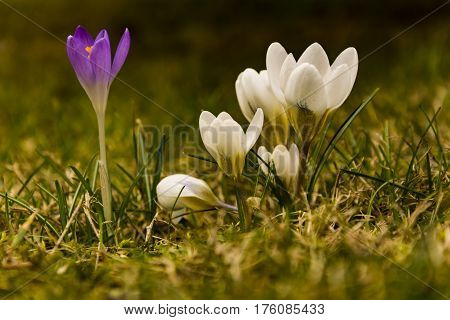 Yellow and purple crocus in grass. First spring flowers in garden.