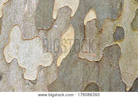 Natural camouflage pattern: Plane (sycamore) tree bark
