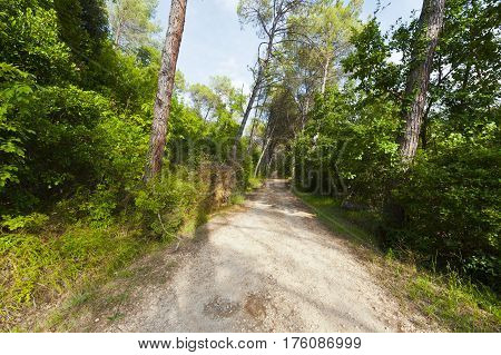 Dirt Road in the Coniferous Forest in the Italian Alps