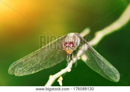 Yellow dragonfly close-up, sitting on a branch, on a green background