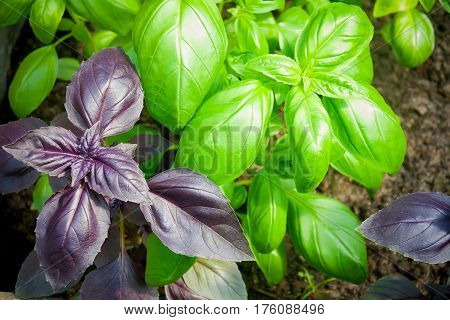 Green and purple basil in garden. Selective focus