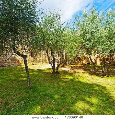 Olive Grove on the Background of the Wall Surrounded Medieval City of Gimignano in Italy