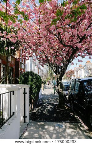 Blossoming pink tree on a quiet residential street of London on a bright sunny day