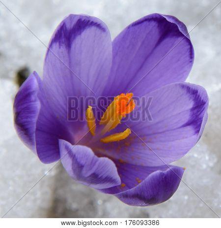 Violet crocus among snow close-up. Flower arangement is seen well.