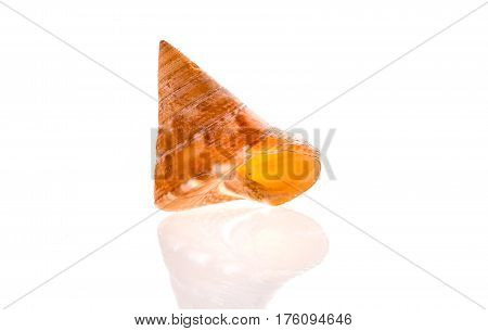 European Painted Topshell - Calliostoma Zizyphinum Sea Snail Slug Shell