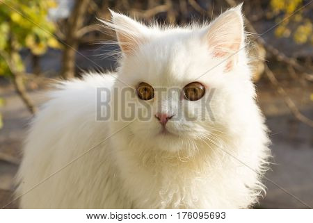 white cat - Angora. beautiful white cat