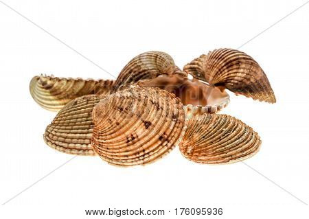 Different Variety Of Sea Clams - Shells On White Background.