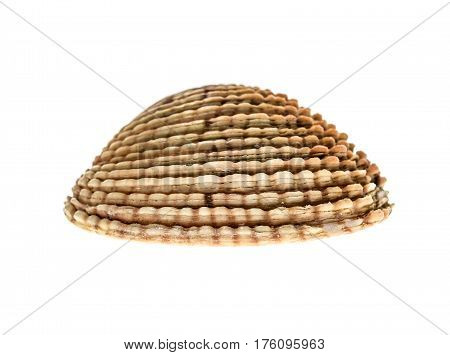 Fresh Warty Venus Clam - Fasolara (venus Verrucosa) Shell Isolated.