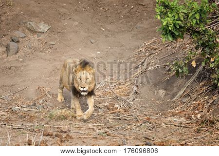 Solitary male adult lion walking through Kruger National Park, South Africa.