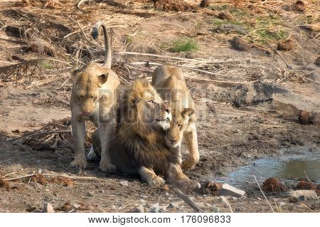 Adult male lion with two lionesses, at the side of a waterhole in Kruger National park