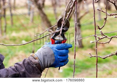 Pruning Of Apple Tree In March