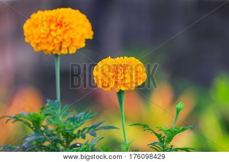 marigold yellow flower blooming beautiful in garden (Tagetes erecta Mexican marigold Aztec marigold African marigold)