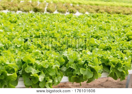 Green Oak Lettuce Salad Plant In The Hydroponic System