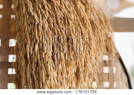 Ear Of Paddy Hanging On.threshing Basket