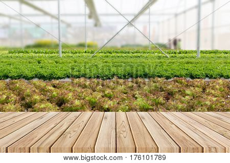 Wood Plank With Lettuce Salad In Hydroponic System In Greenhouse