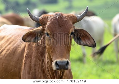 Brown Ox With Horns On Fattening Regime