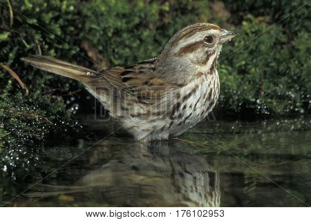 A Song Sparrow, Melospiza melodia bathing in a small forest pond