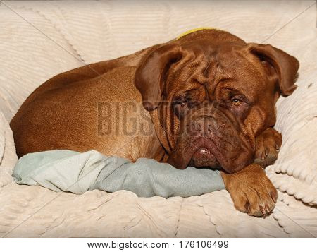 Dogue De Bordeaux Female - Portrait Head