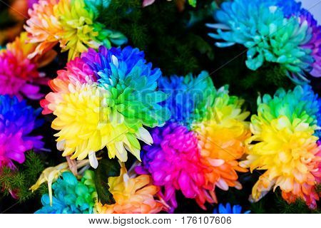 Chrysanthemum Rainbow Flower