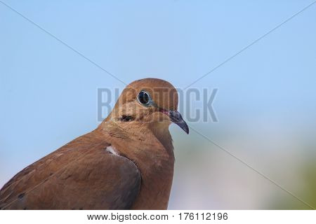 Side profile of a Mourning Dove with the background in bokeh.